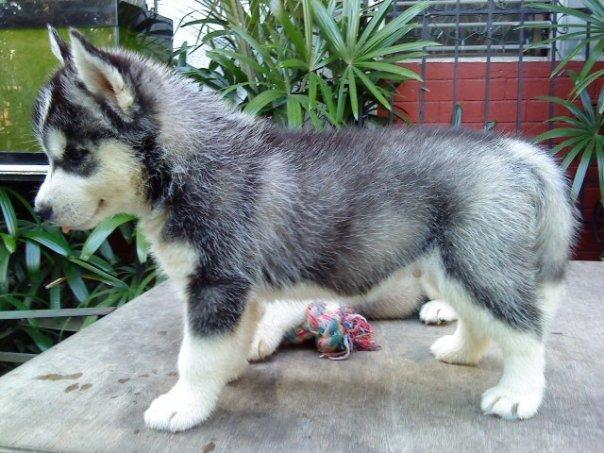 Cute Mini Husky Puppies Www Picsbud Com