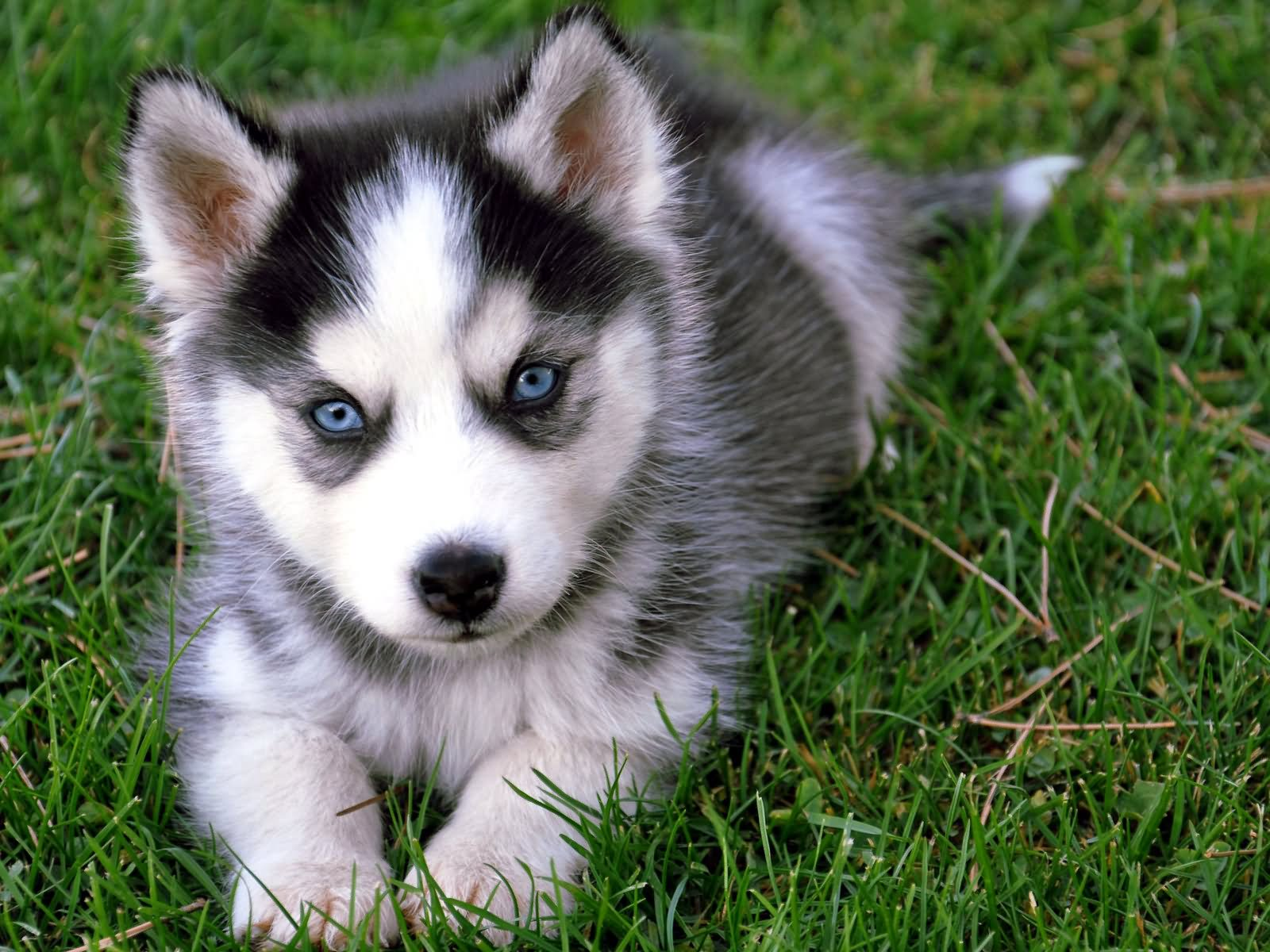 Popular Siberian Husky Chubby Adorable Dog - Cute-Siberian-Husky-Puppy-Sitting-On-Grass  Picture_739145  .jpg