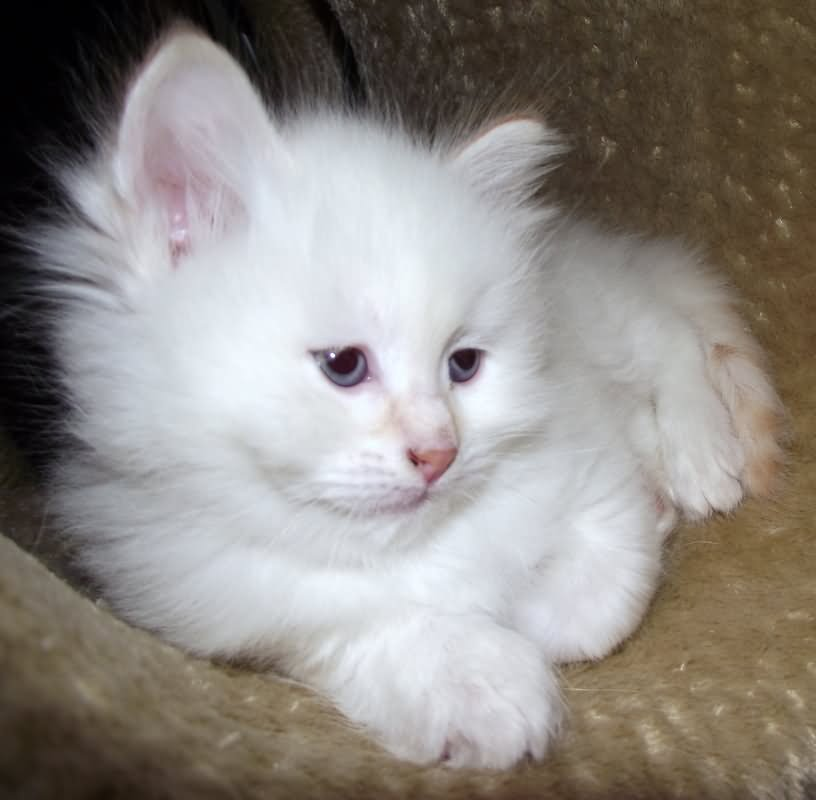 25 Very Beautiful White Siberian Cat Photos And Images