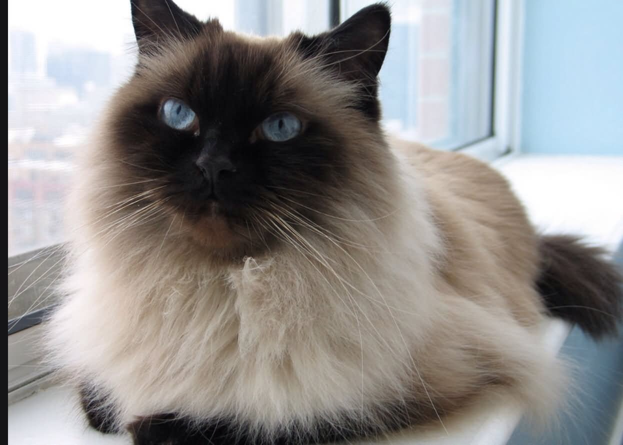 Himalayan cat - Wikipedia