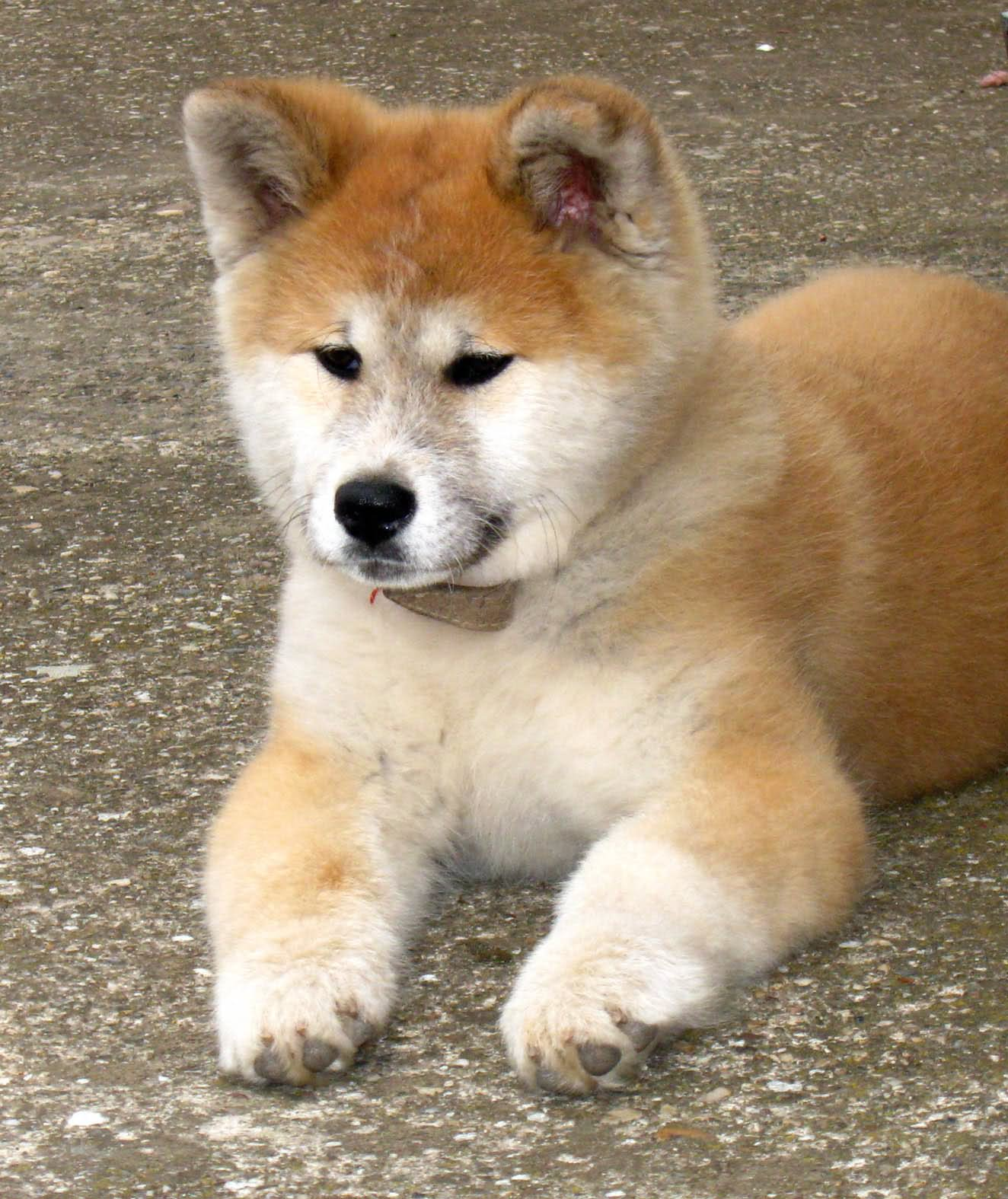 35+ Most Cute Akita Puppy Pictures And Photos