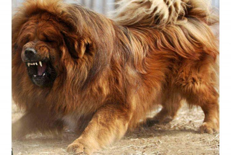 50 Very Beautiful Tibetan Mastiff Dog Photos And Images