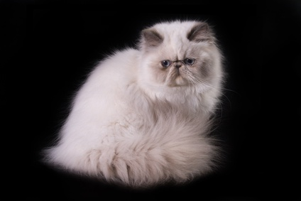 50 Very Beautiful Himalayan Cat Pictures And Images