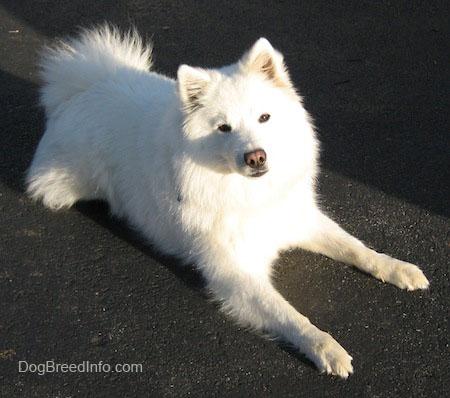 American Eskimo Dog For Sale In Hyderabad
