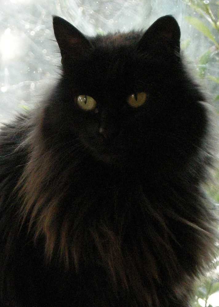 30 Best Black Siberian Cat Pictures And Images