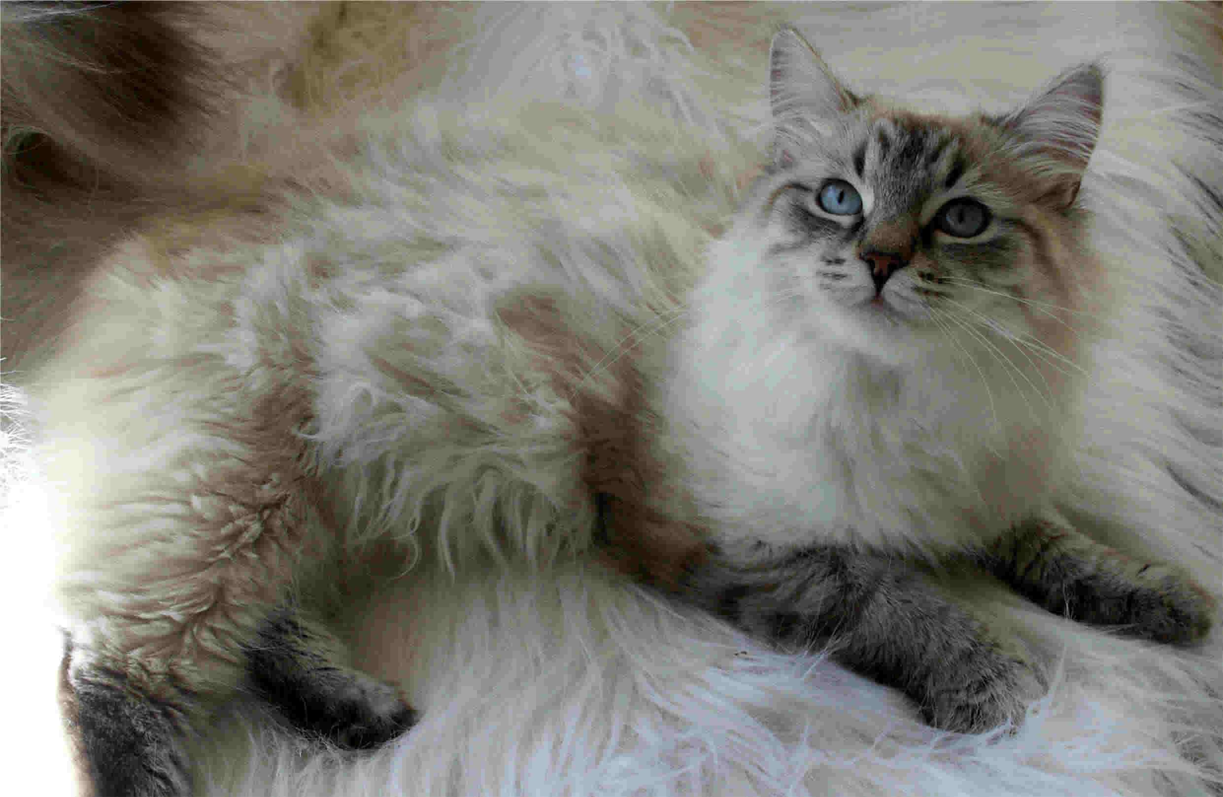 30 Most Wonderful Siberian Cat And