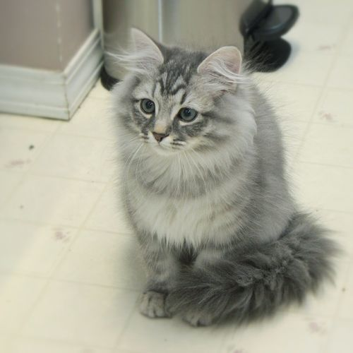 Fluffy White And Grey Cat 54 Most Beautif...