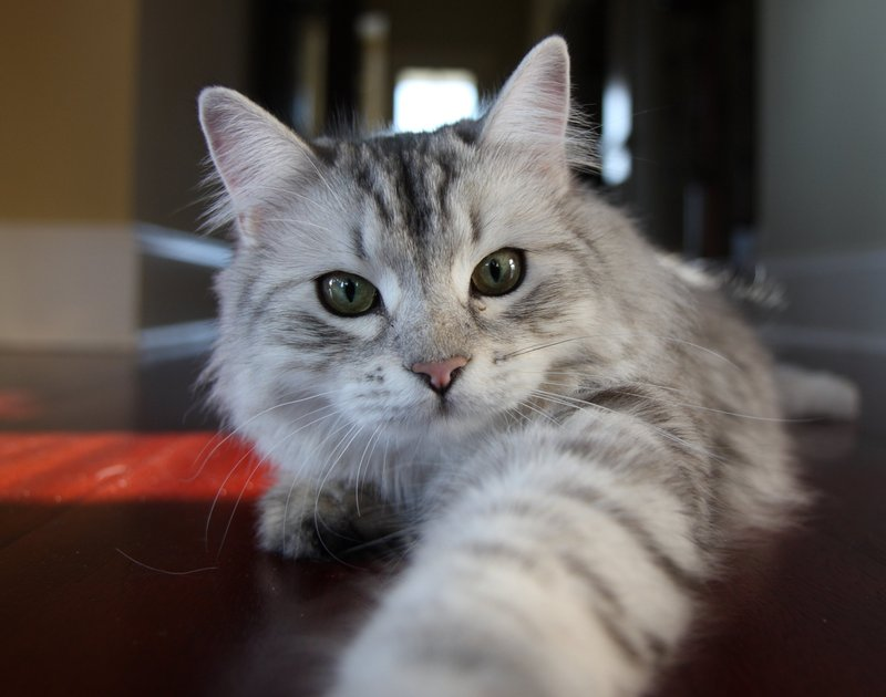54 most beautiful grey siberian cat photos and images. Black Bedroom Furniture Sets. Home Design Ideas