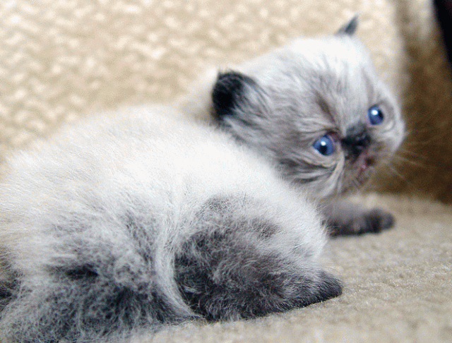 15 Very Beautiful Grey Himalayan Cat Images And Pictures Grey Fluffy Kittens