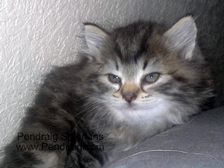 Grey Kitten With Yellow Eyes
