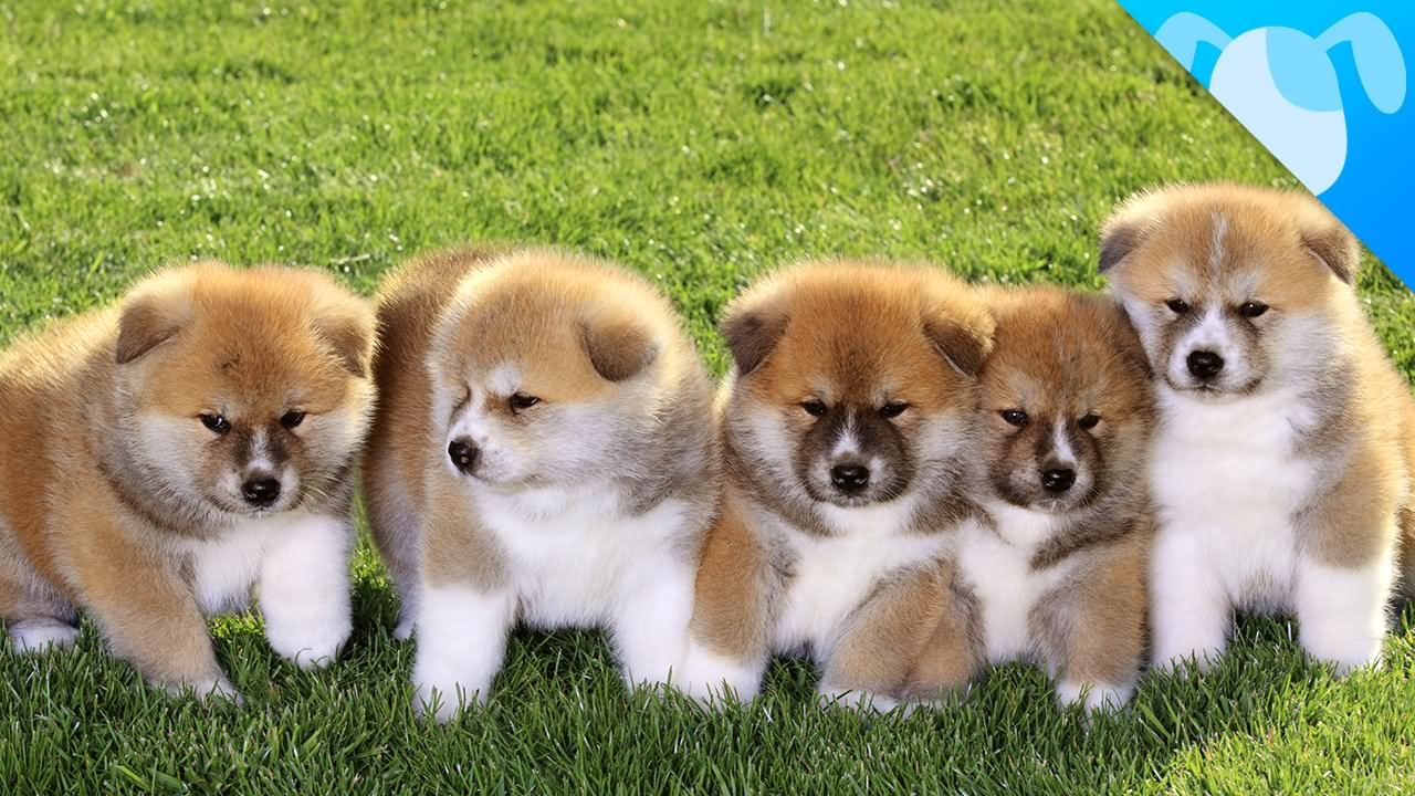 Group Of Akita Puppies