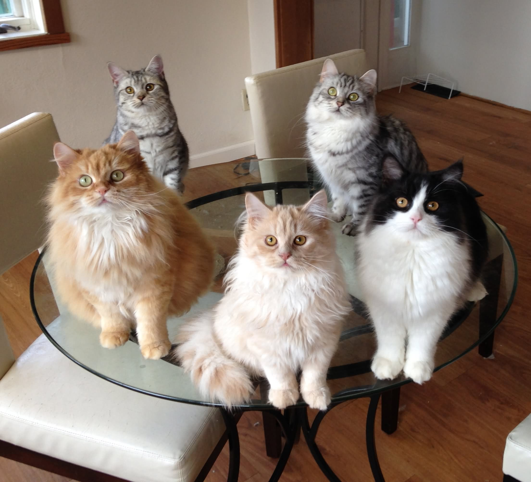 group of manx cats sitting on table