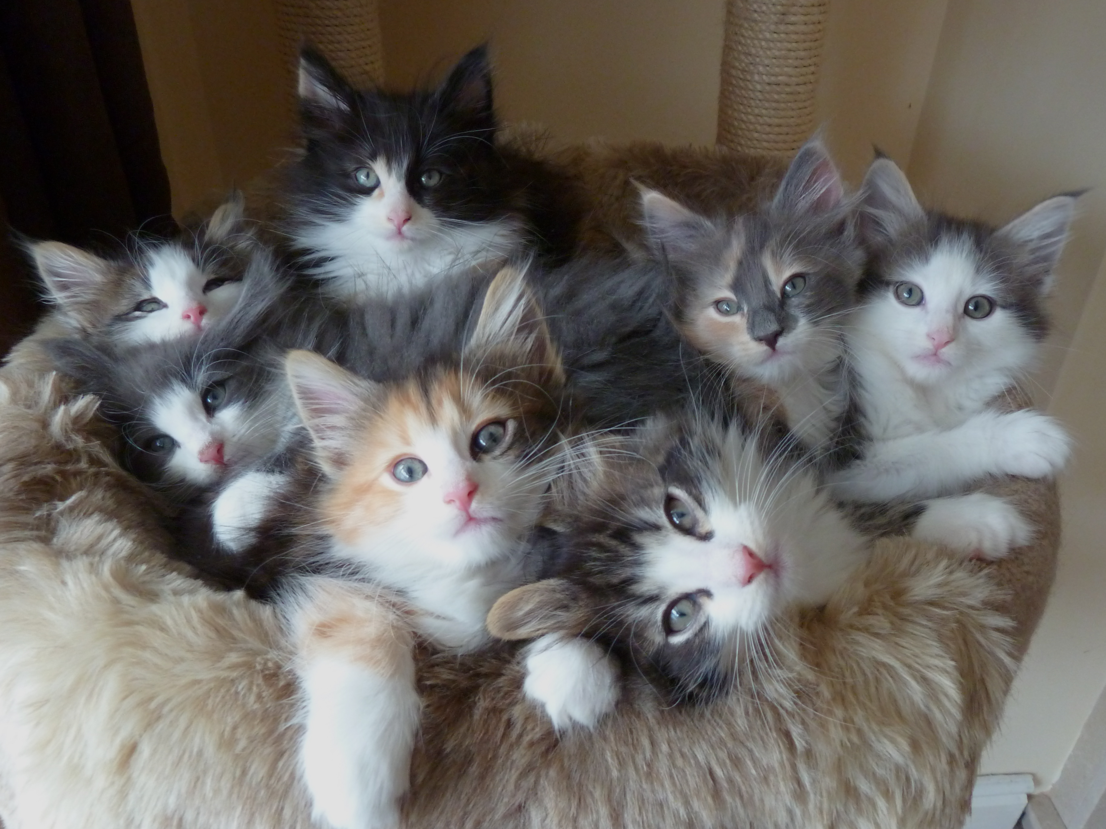 50 Very Cute Norwegian Forest Kitten And s