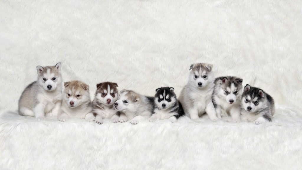 65+ Very Cute Siberian Husky Puppy Pictures And Images