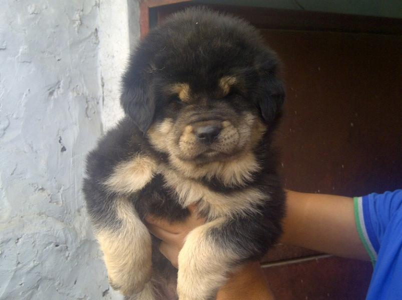 40 Very Cute Tibetan Mastiff Puppy Pictures And Images