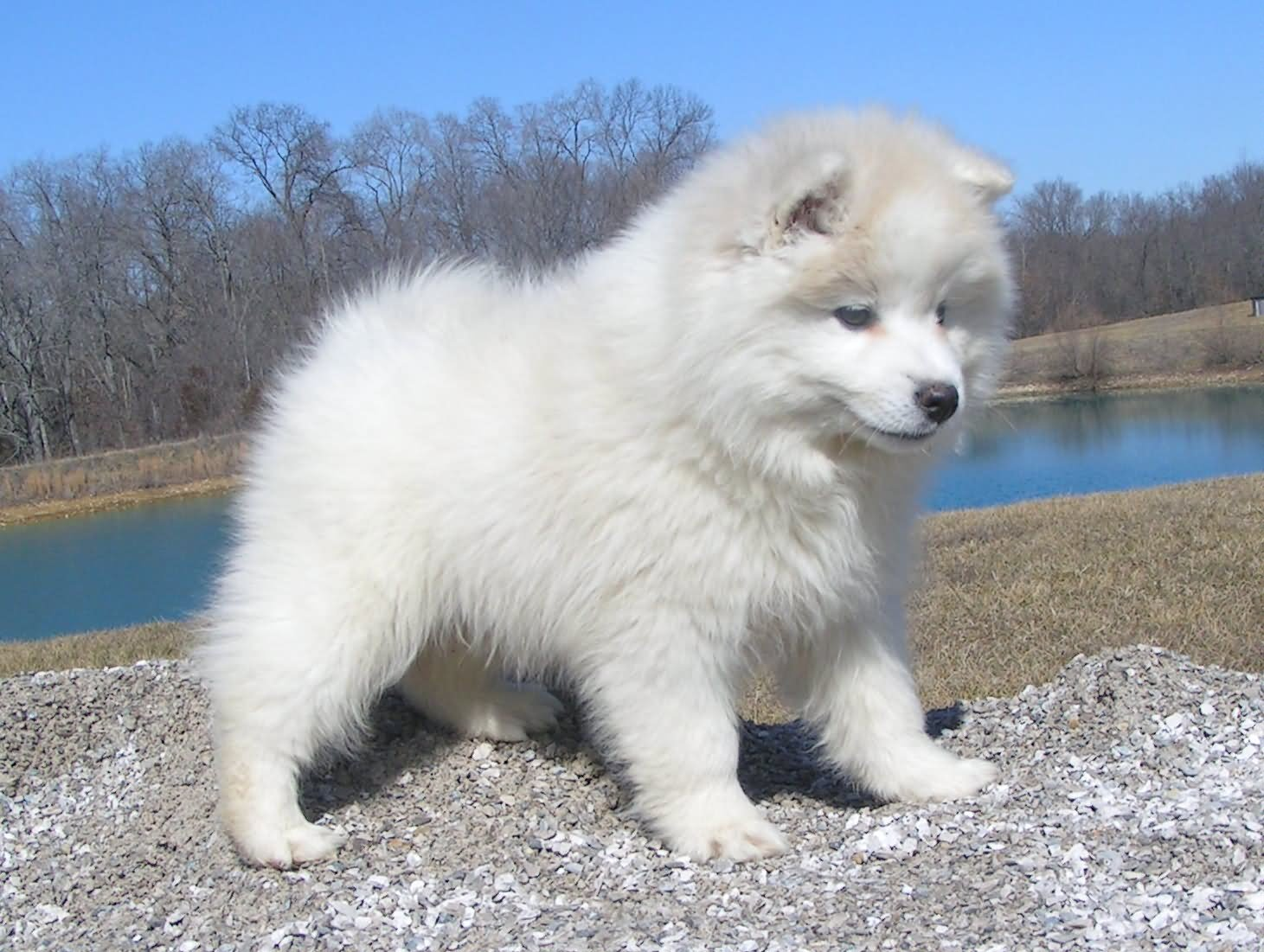 Black American Eskimo Dog