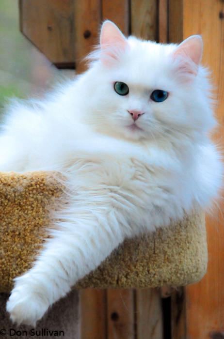 snow bengal kitten price