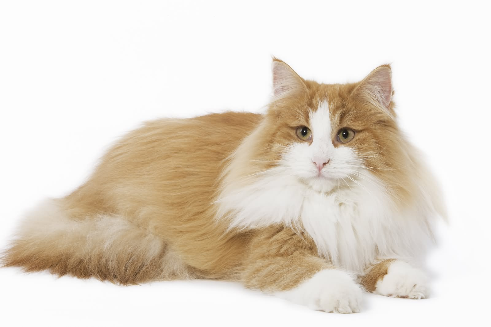 orange and white norwegian forest cat sitting