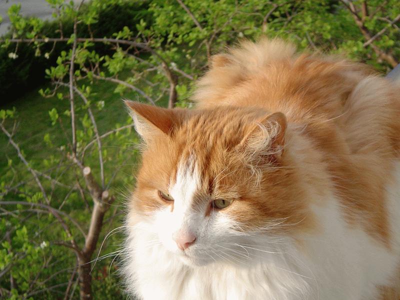 orange norwegian forest kitten wwwpixsharkcom images