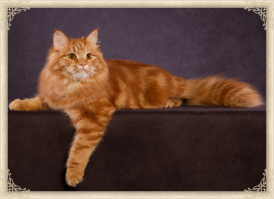 20 Most Adorable Orange Siberian Cat Images And Photos
