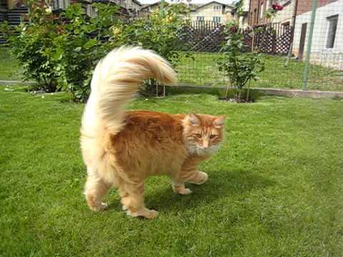 30 Most Adorable Orange Norwegian Forest Cat Pictures
