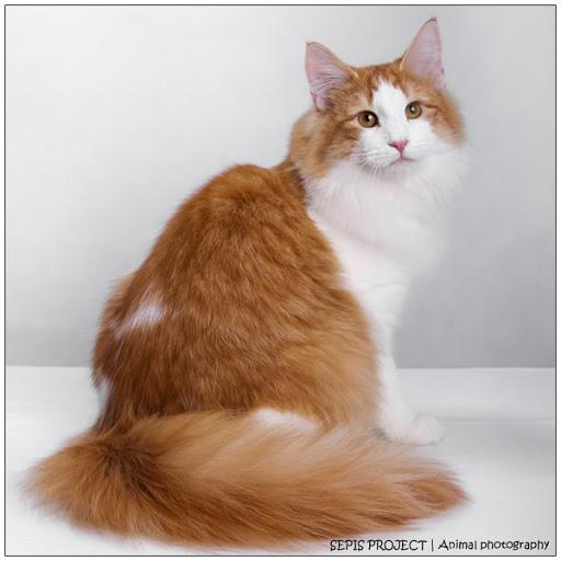 Image Gallery orange norwegian forest cat