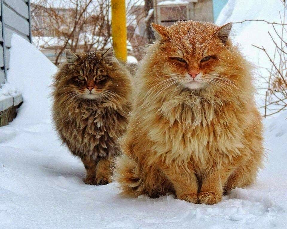 30 most adorable orange norwegian forest cat pictures