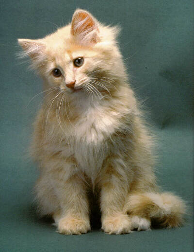 50 very cute norwegian forest kitten pictures and photos