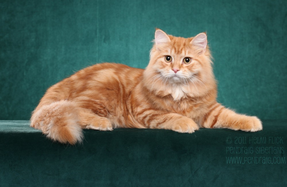 20+ Most Adorable Orange Siberian Cat Images And Photos Tabby Cat Sitting Up