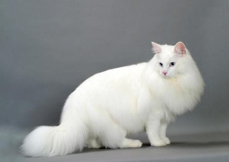 Norwegian Blue Cat White