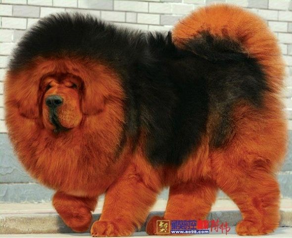 Red Tibetan Mastiff Puppy | www.pixshark.com - Images ...
