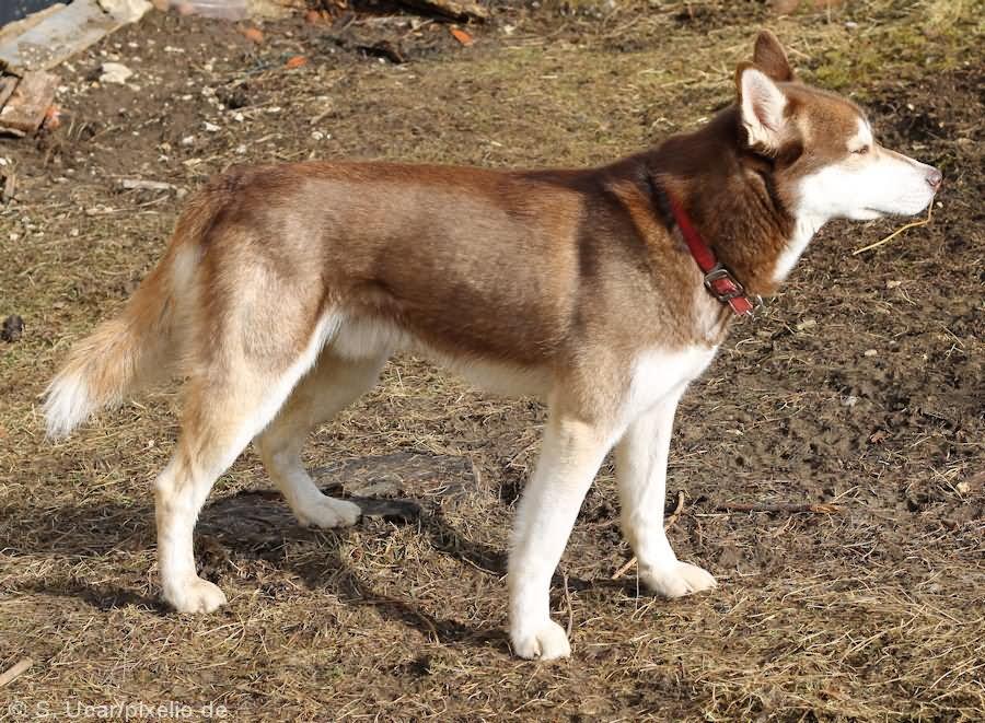 25 Very Beautiful Red Siberian Husky Dog Photos And Images