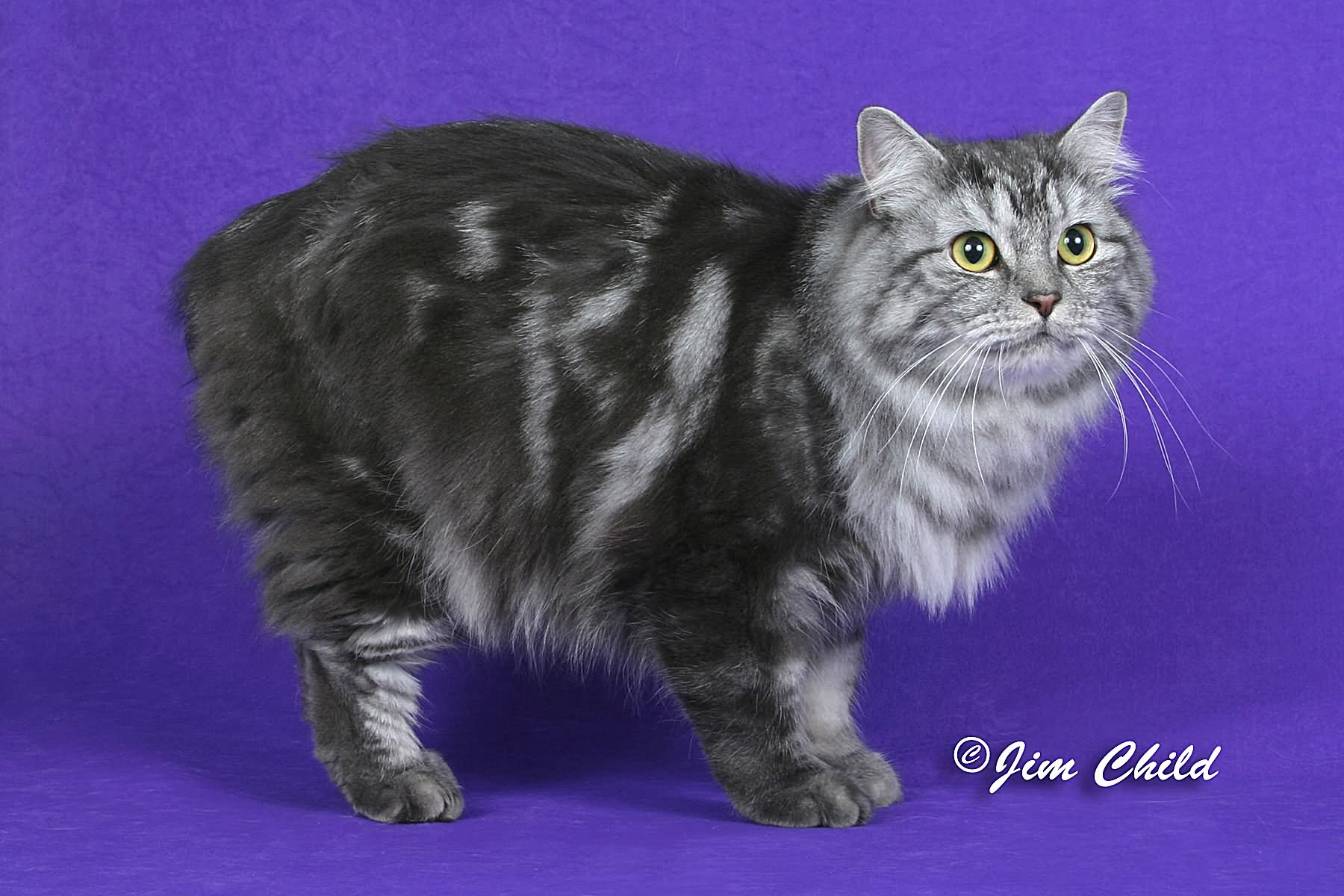20 Most Beautiful Grey Manx Cat Photos And Images