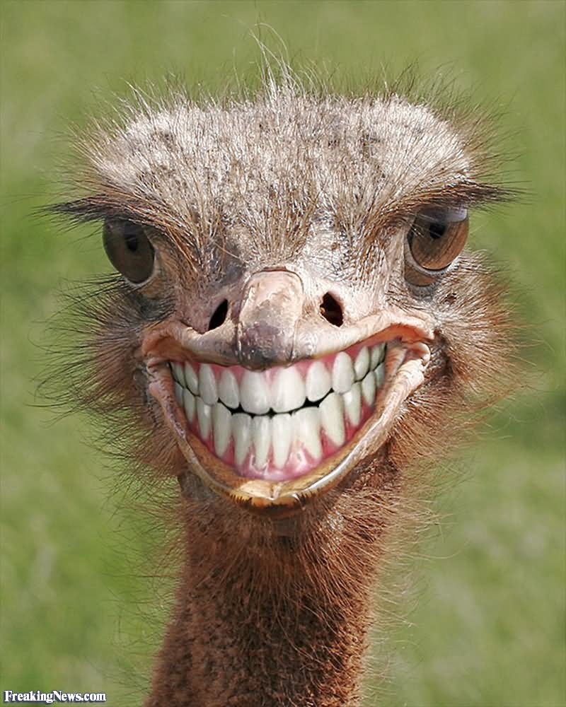 Smiling ostrich funny closeup face