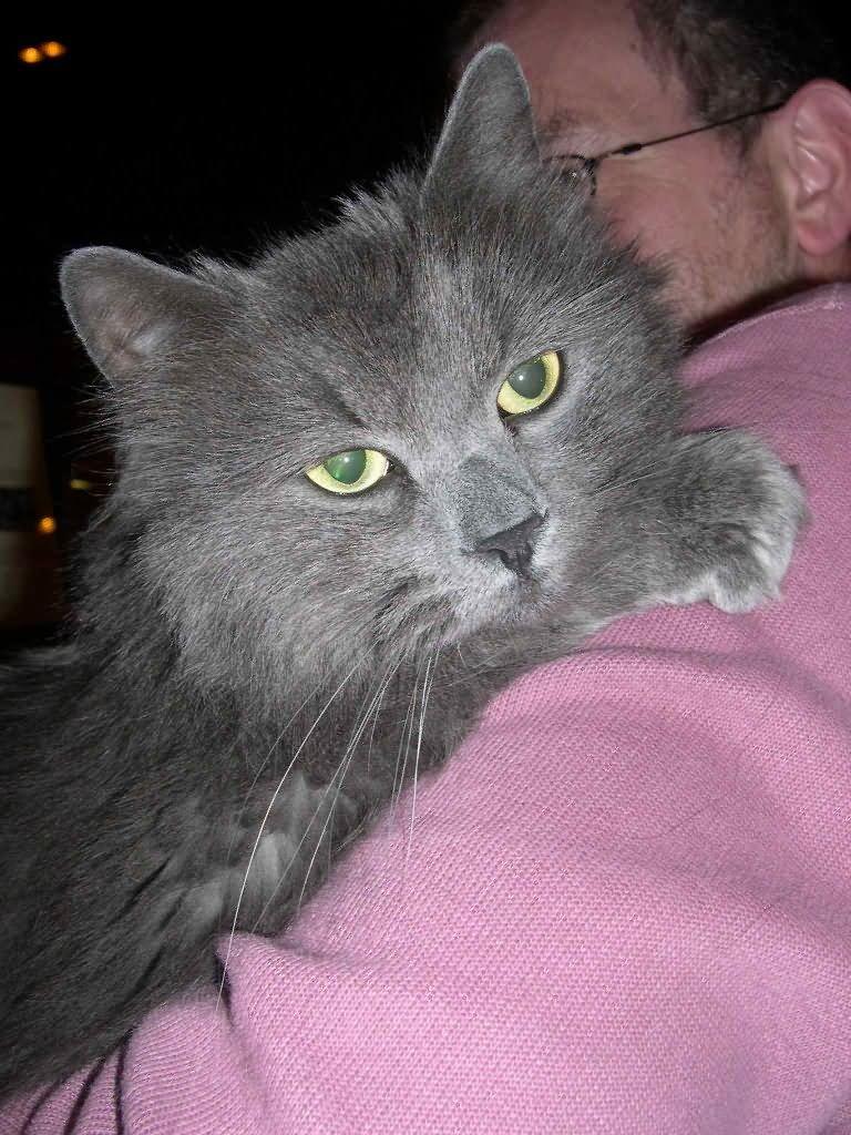 54 Most Beautiful Grey Siberian Cat Photos And Images