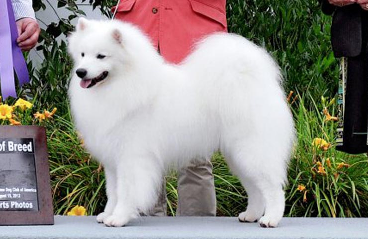 30 Most Adorable American Eskimo Dog Pictures And Photos