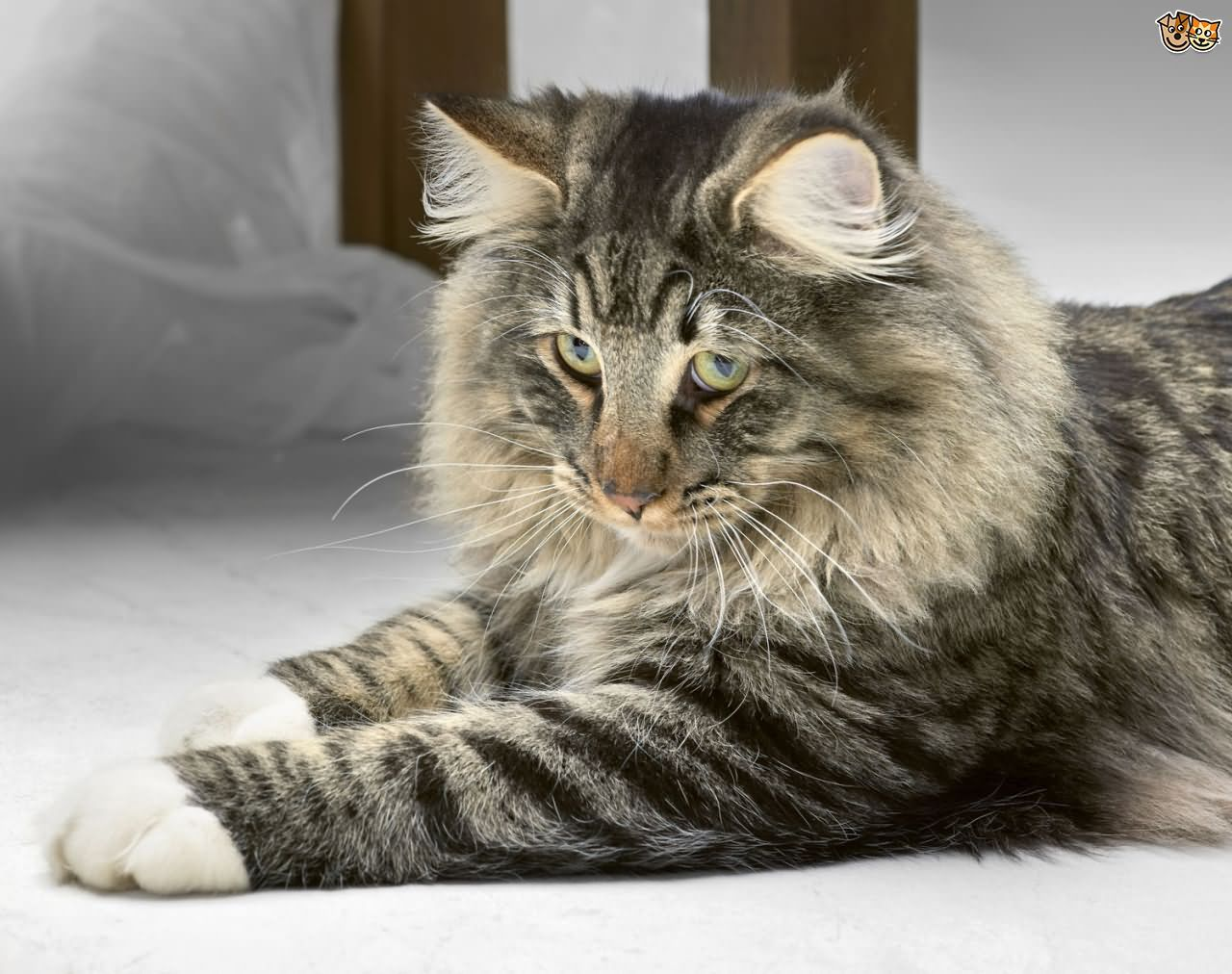 Tabby Norwegian Forest Cat Sitting Tabby Norwegian Forest Cat