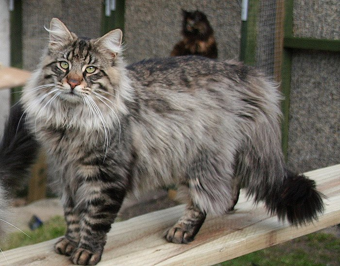 Tabby Norwegian Forest Cat Standing Tabby Norwegian Forest Cat