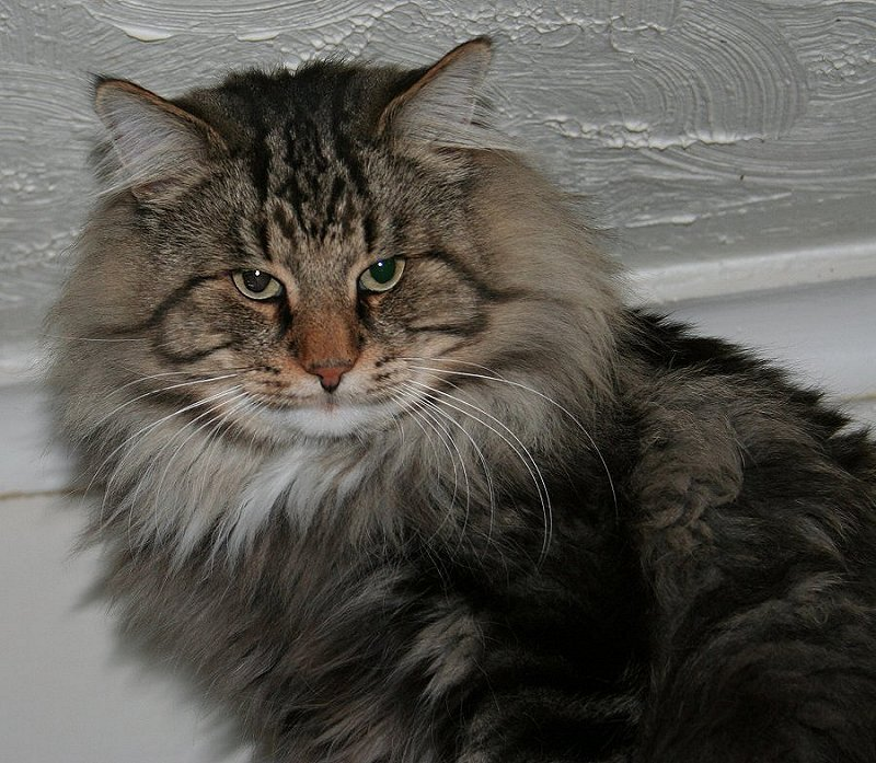 50 Most Beautiful Norwegian Forest Cat Photos And Images Tabby Norwegian Forest Cat