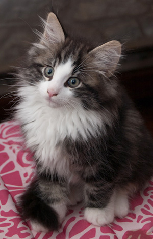 50+ Very Cute Norwegian Forest Kitten Pictures And Photos Tabby Norwegian Forest Cat