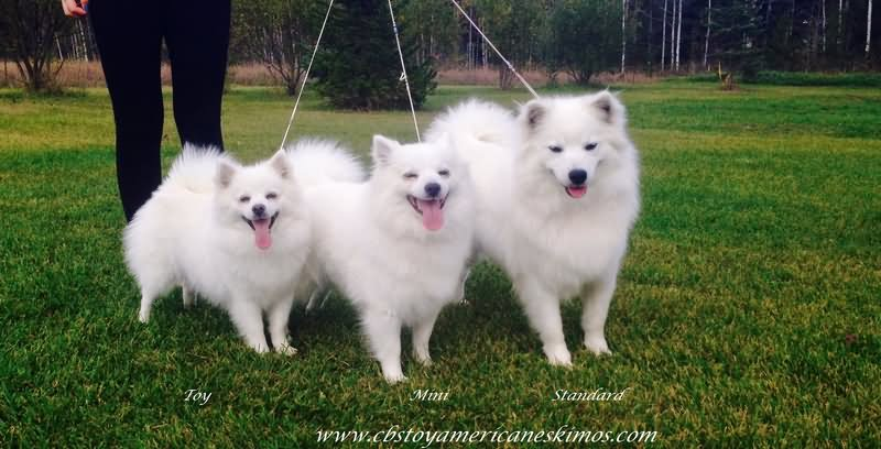 40 Very Beautiful American Eskimo Pictures And Photos