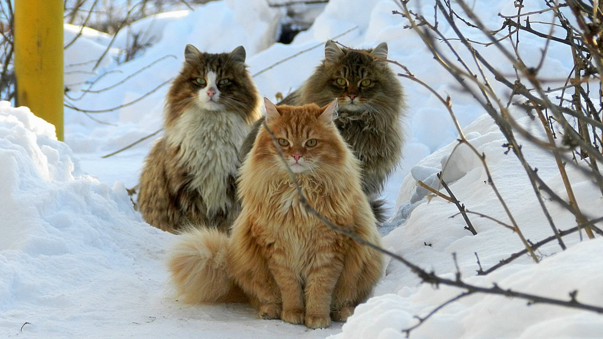 30 Most Wonderful Siberian Cat Pictures And Images