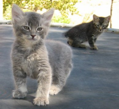 30 Very Cute Manx Kitten Photos And Pictures