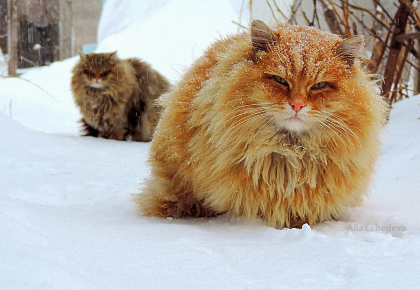 Norwegian Snow Cats For Sale