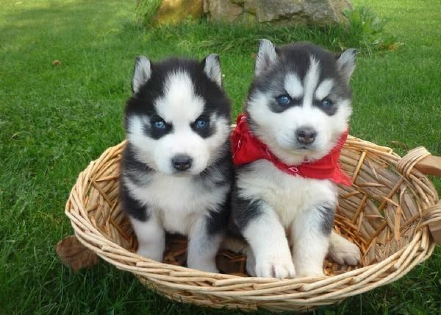 Best Siberian Husky Chubby Adorable Dog - Two-Siberian-Husky-Puppies-Sitting-In-Basket  Gallery_706618  .jpg