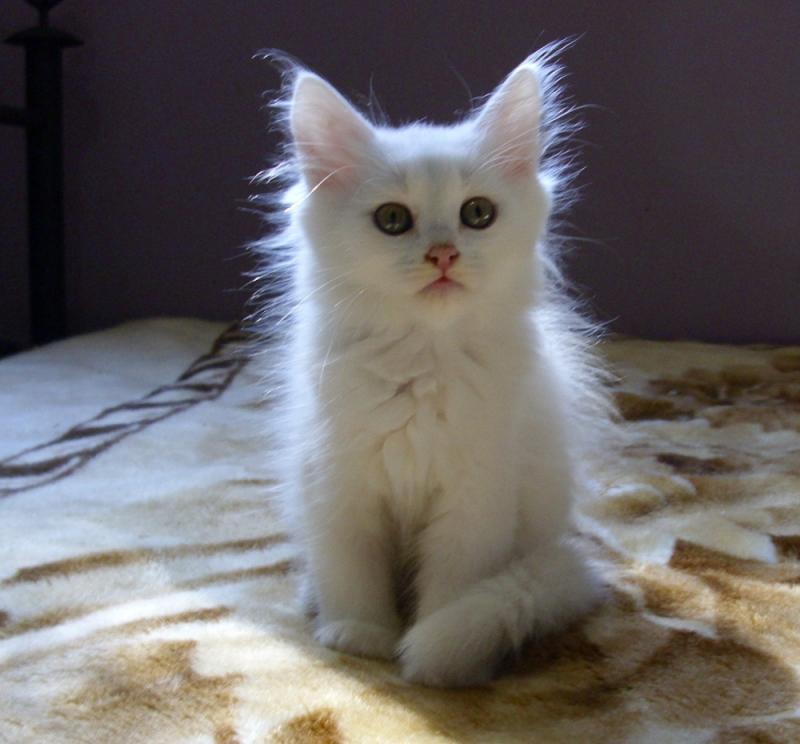 девушки это картинки сибирских белых кошек однажды она явилась