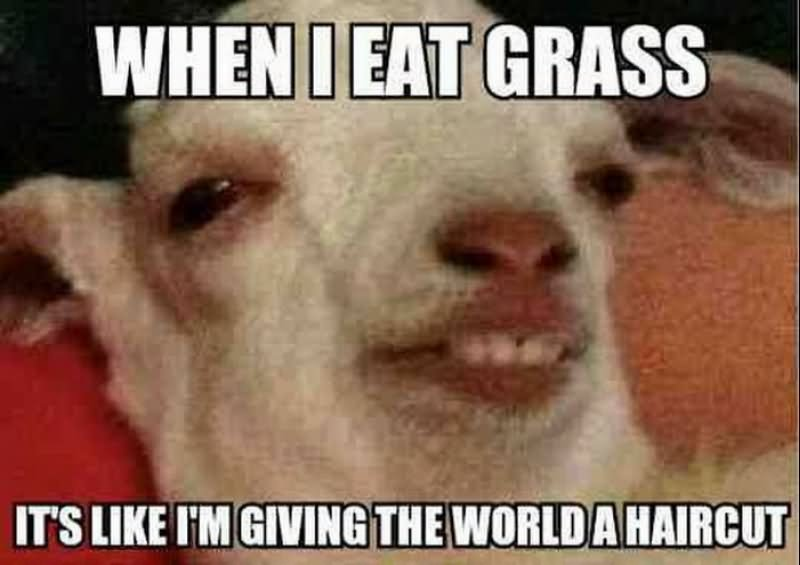 Funny Black Sheep Meme : When i eat grass funny sheep comments