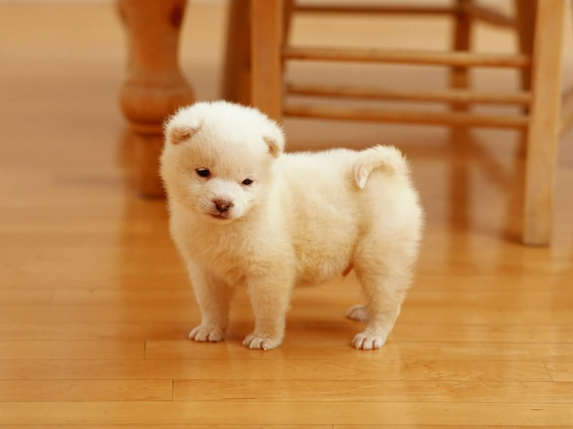 35 Most Cute Akita Puppy And s