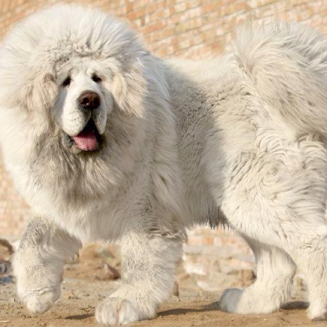 Right breed for you Chinese SharPei information including personality history grooming pictures videos and the AKC breed standard