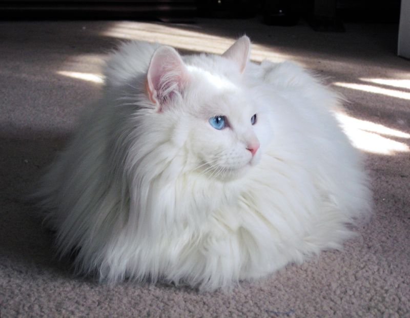 Longhaired Gray And White Cat